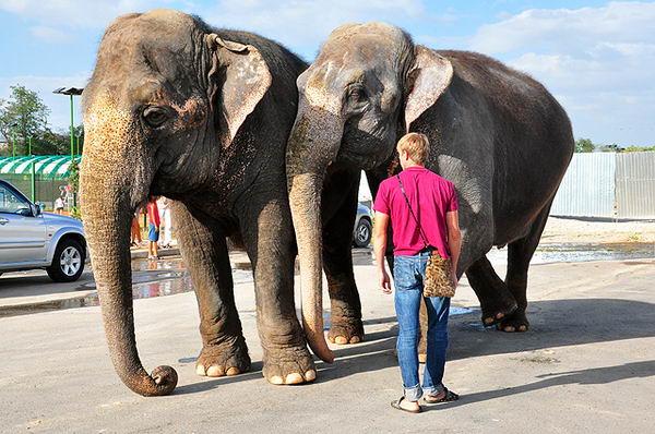 По улицам Шымкента разгуливают слоны